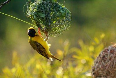Social weaverbird, Pilanesberg