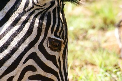 Zebra close-up, Pilanesberg