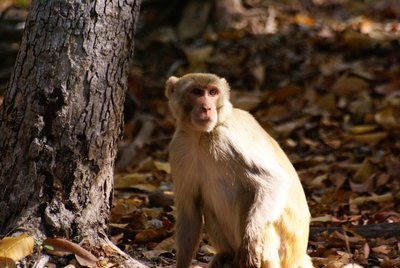 Rhesus Macaque, Bandhavgarh NP