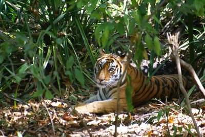 Tigress, Bandhavgarh