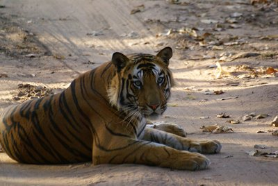 The most beautiful cat in the world! Bandhavgarh National Park