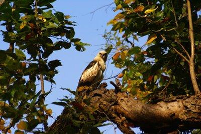 Hawk, Kanha NP