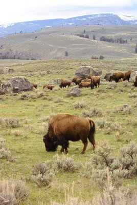 Bison in Yellowstone, Wyoming