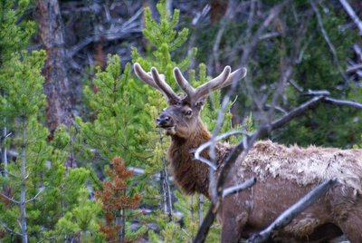 Male Elk, Yellowstone NP, Wyoming