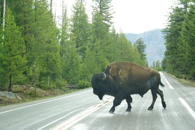 Hit the brakes! Yellowstone NP