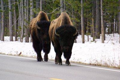 Pretty impressive bison in Yellowstone