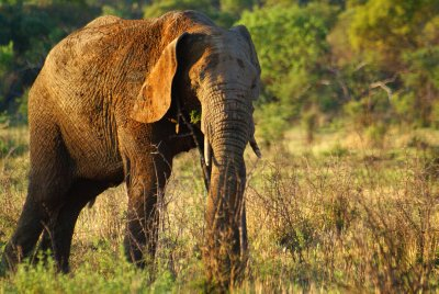 Pilanesberg Park Elephant