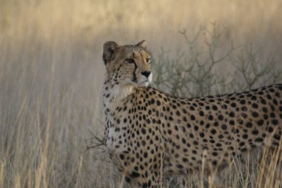 Cheetah: a beautiful creature!