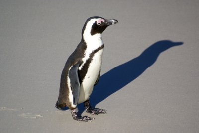 A Penguin and his shade