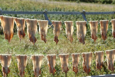 Drying squid, Newfoundland