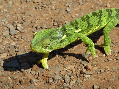 Cameleon, Madikwe Game Reserve