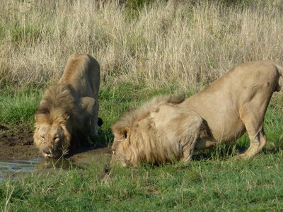 Male Lions drinking, Madikwe Game Reserve