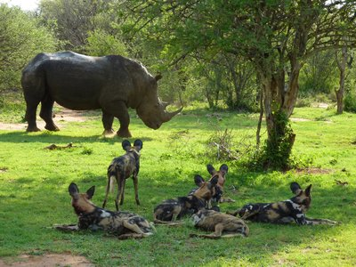 African Wild Dogs meet White Rhino