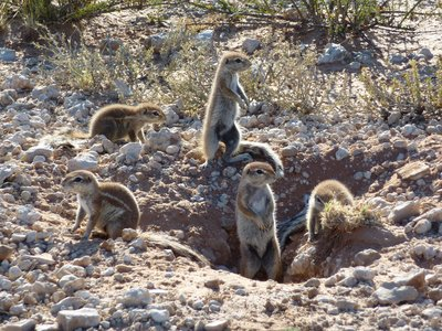 Ground Squirrels, Kgalagadi