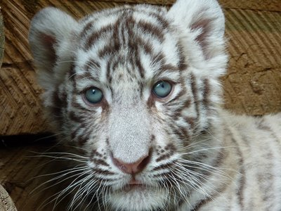 White tiger cub, Oudtshoorn