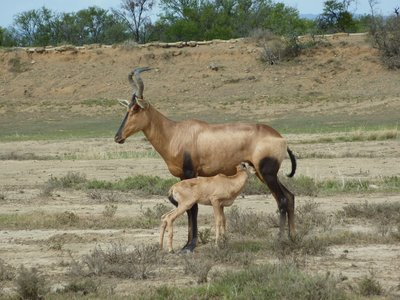 Red Hartebeest and her young