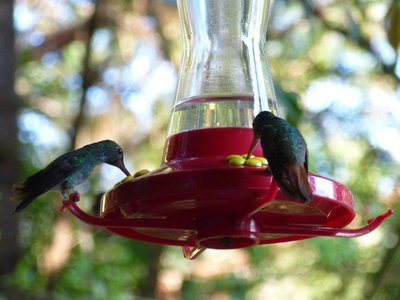 Hummingbirds at my cottage