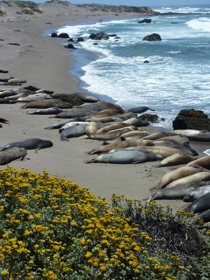 A whole beach of elephant seals, California