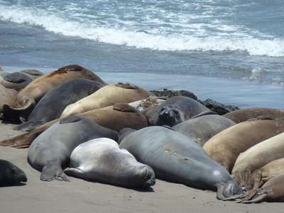 Elephant seals, Californian Pacific coastline