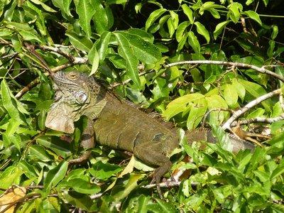 Green Iguana, Tortuguero National Park