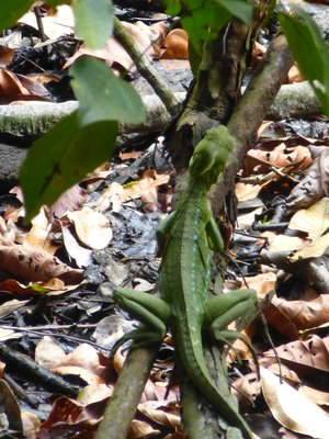 Green Basilisk Lizard, Tortuguero NP