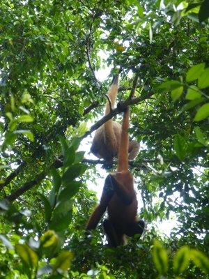 Geoffroy's Spider Monkey, Tortuguero NP