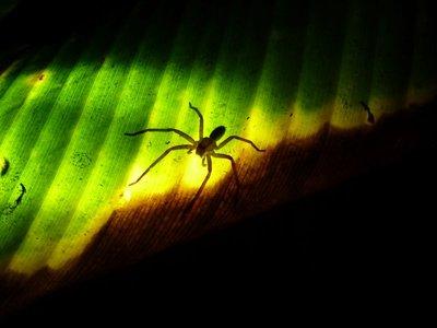 Spider, Tortuguero NP