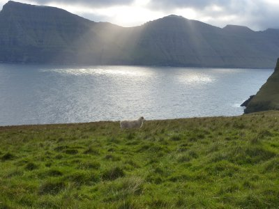Sheep in the sunlight, Kalsoy island