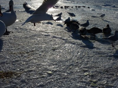 Birds over frozen Tallinn Bay
