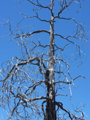 Dead Tree, Chiricahua NM, Arizona
