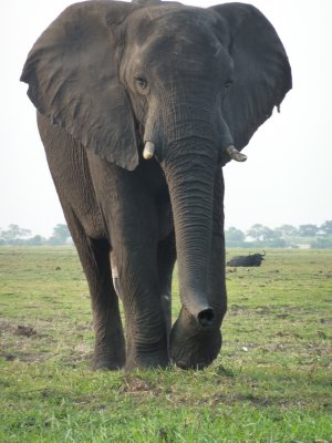 Massive Elephant Bull, Chobe National Park, Botswana