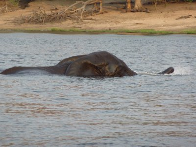 Elephant crossing the Chobe River, Botswana