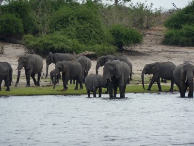 Elephant herd along the Chobe River, Botswana