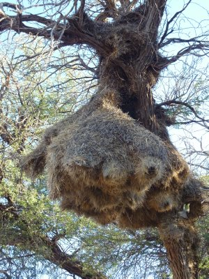 Social weaver bird nest, Kgalagadi Transfrontier Park