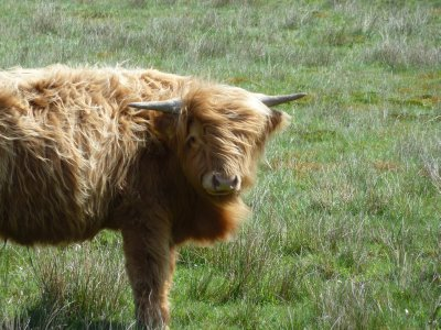 Scottish Highlander in...the Netherlands