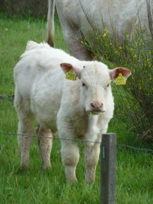 Calf in Drenthe