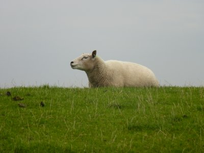 Sheep, Terschelling