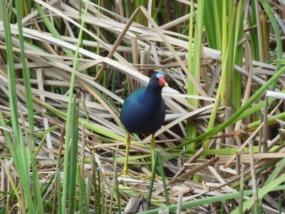 Colourful Bird in the Everglades