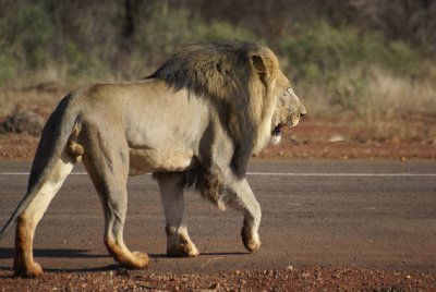 Male Lion crossing the local runway