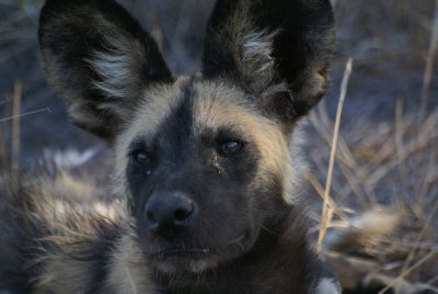 Wild Dog up close