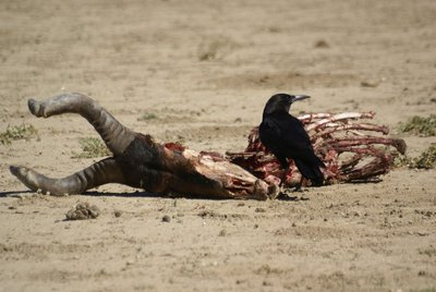 Bird enjoying the carcass of a Red Hartbeest