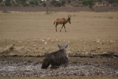 Brown Hyena watching Red Hartbeest