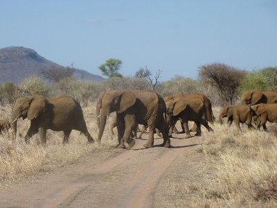 Big herd of Elephant