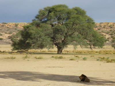 Lion in the shade, Kalahari