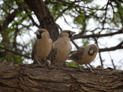 Kalahari Birds