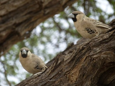 Birds in the Kalahari
