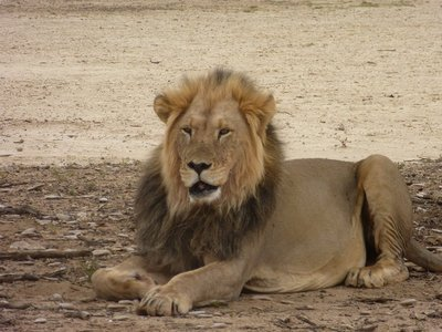 Black-maned Kalahari Lion