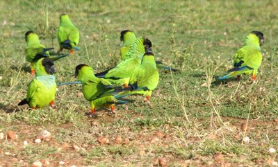 Blackhooded parakeets, Pantanal