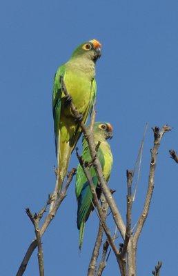 Pantanal Parakeets