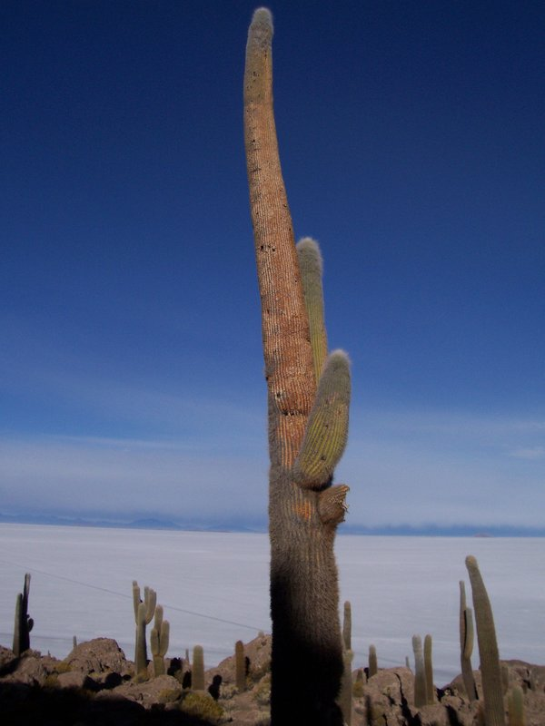 Cactus: 1200 years old and 12 meter high
